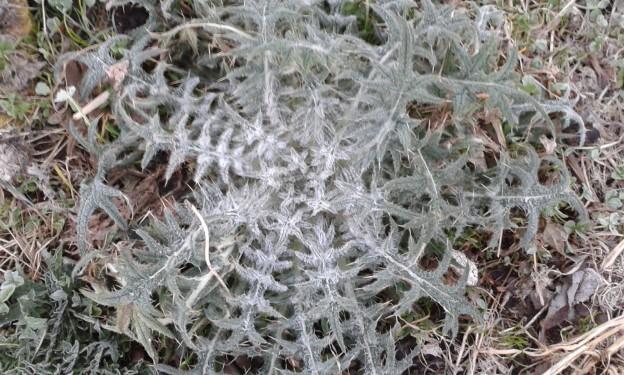 Frostige Distel