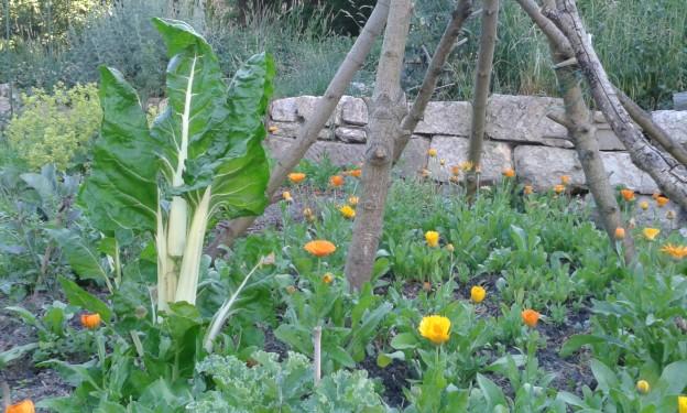 Ringelblumen in Mischkultur