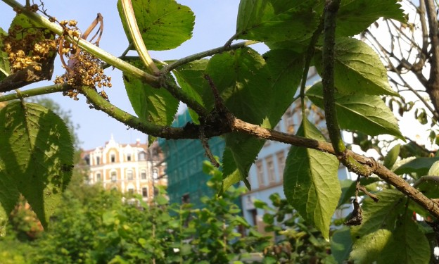 Holunder mit Blattläusen