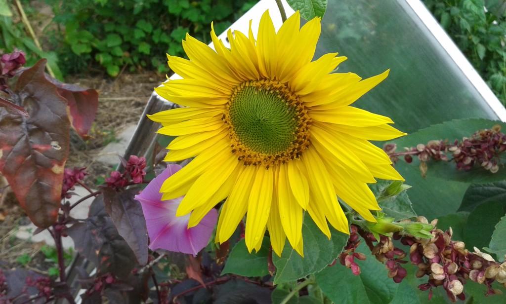 Kleinwüchsige Sonnenblume