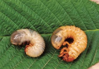 Larven von Rosenglanzkäfer und Maikäfer zum vergleichen